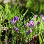 iStock_crocus blooms
